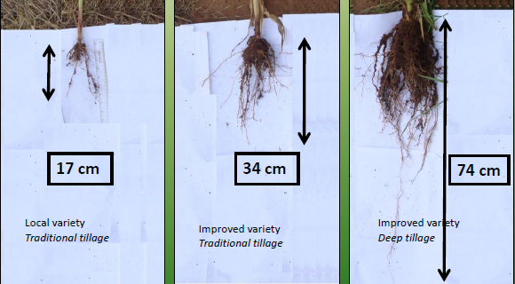 fig-3-impact-of-good-tillage-on-root-development