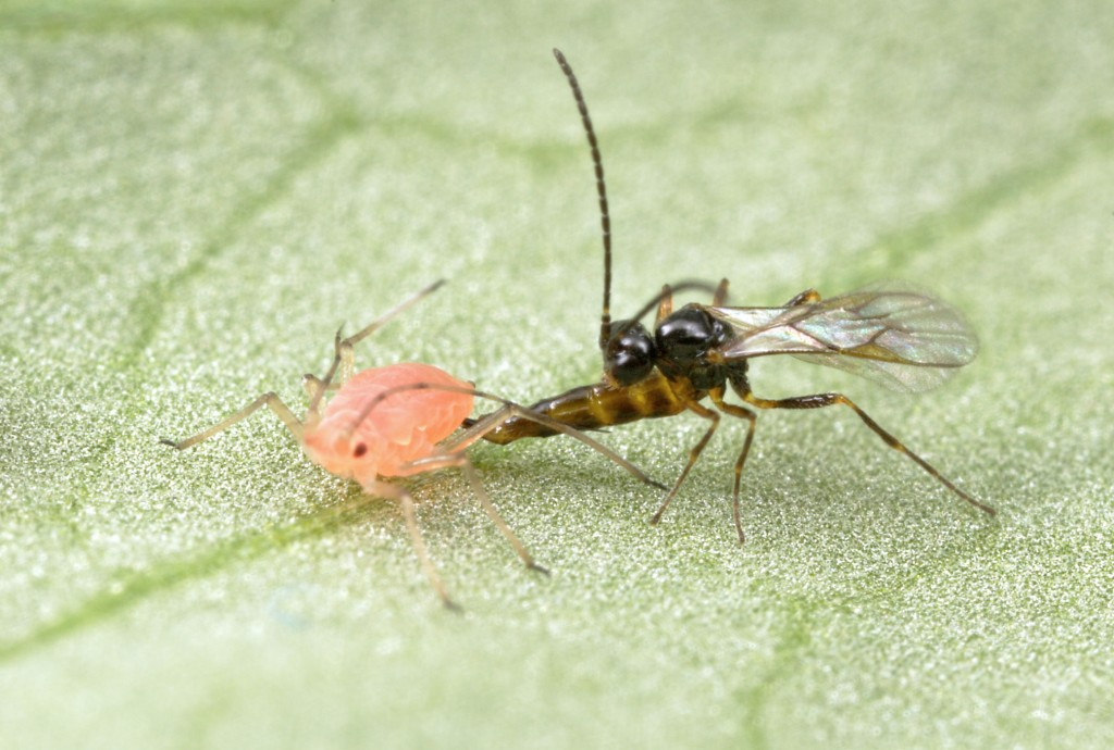 A parasatoid wasp lays an egg in an aphid. Photo by Alex Wild, University of Georgia.