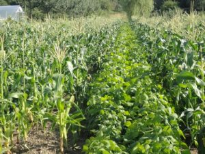Companion/Intercropping of Vegetables in Africa