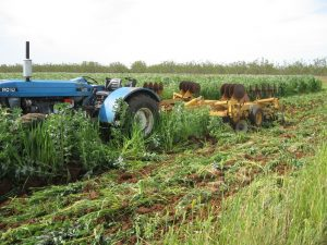 Disking in a cover crop of peas and triticale