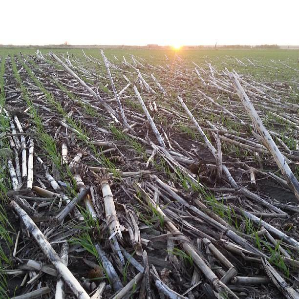 Wheat sprouting through no-till crop