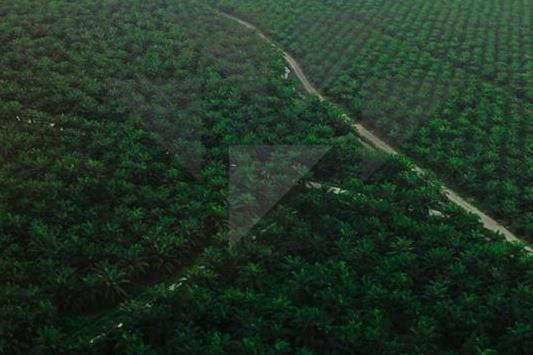 Oil Palm Carbon Sink