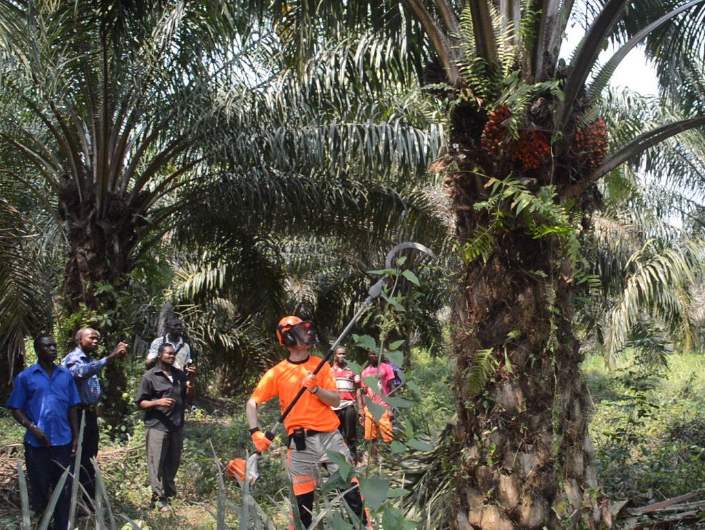 Oil Palm Harvesting
