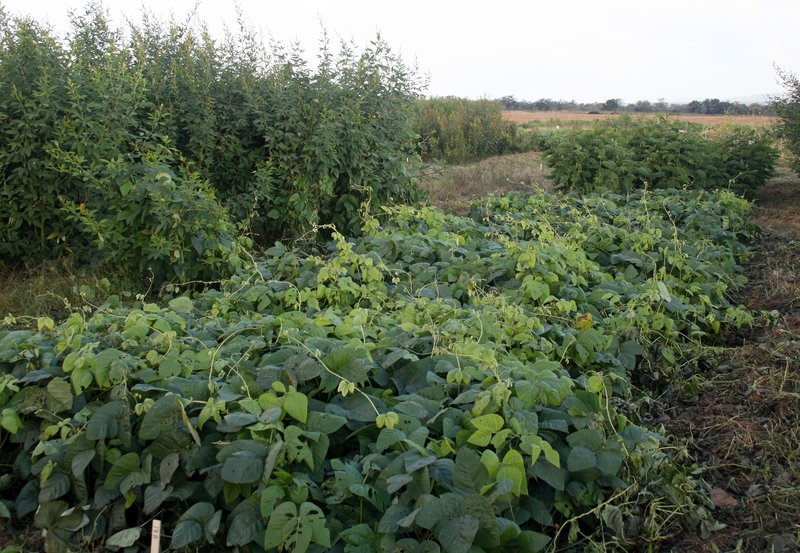 Cover crops - Forage peas