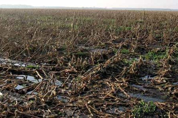 corn field damaged by hurricane mathew