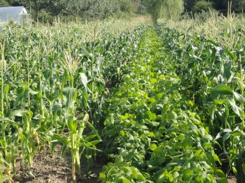 cover crops - intercropping