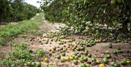orange crop damaged by hurricane Irma
