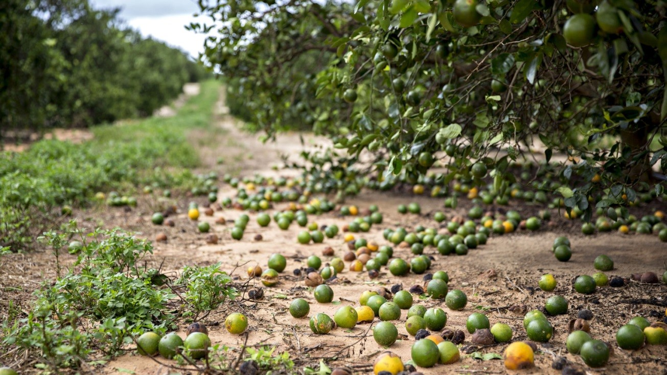 orange crop damaged by hurricane Irma