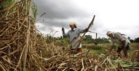 Harvesting sugar cane in Africa
